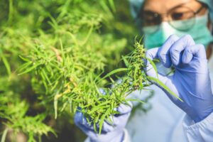 A woman in lab gear analyzes a cannabis plant in a grow room.