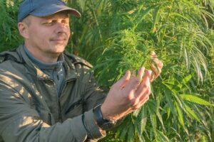 A cannabis farmer observes the quality of his herbs.