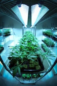 Grow lights on cannabis plants.
