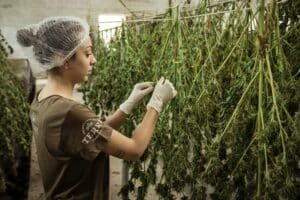 Grower drying cannabis crop.