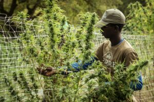 Grower inspecting cannabis plants.