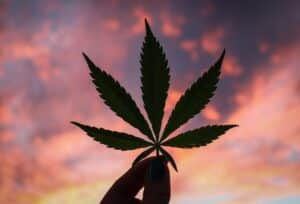 cannabis leaf in the sunset