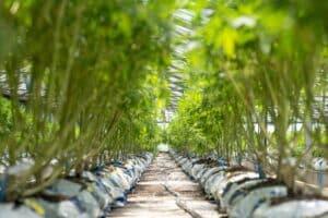 Row of cannabis plants.
